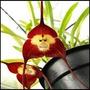 Sementes Lindas Orquídeas Cara De Macaco - 10 Sementes