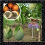 Granadilha Mais Doce Que Maracujá Sementes Frutas Para Mudas