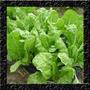 Acelga Loura - Baby Leaf - Sementes Hortaliças Para Mudas