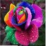 50 Semente Ros@ Exótica Arco-íris- Compre 1 Leve 2