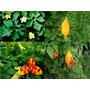 30 Sementes De Melão-de-são-caetano (momordica Charantia)