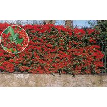 Piracanta Vermelha Cerca Viva Bonsai Sementes Para Mudas