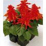 100 Sementes De Salvia Splendens - Com Garantia