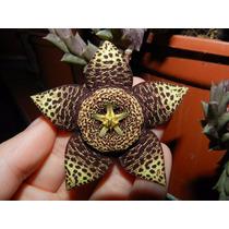 Sementes De Cacto Starfish Stapelia Variegata P/ Mudas