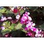 12 Jacinto Bean-trepadeira-sementes