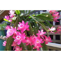 100 Sementes De Cactos Orquidea Epiphyllum - Com Garantia