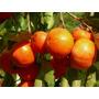 Sementes De Caqui Graúdo - (diospyros Kaki ) 8 Sementes