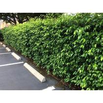 Ficus Benjamina - Sementes Para Mudas Cerca Viva E Bonsai