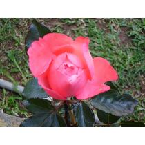 Kit Com 3 Rosas( Vermelha,uma Gigante E Uma Champanhe)