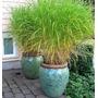 Capim De Citronela Cymbopogon 20 Sementes P/ Vaso Ou Jardim