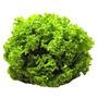 Alface Crespa Grand Rapids 9000 Sementes Horta Hidroponia
