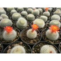 30 Sementes Mix De Cactos Notocactus - Frete R$ 0,10