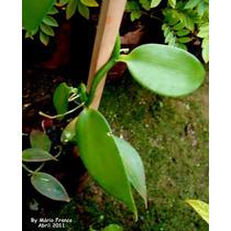 Muda De Baunilha Orquidea Vanilla Planifolia 30cm
