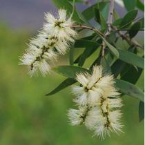 Sementes Melaleuca Alternifolia Medicinal Tea Tree P/ Mudas