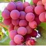 10 Sementes De Uva Gigante - Rosada