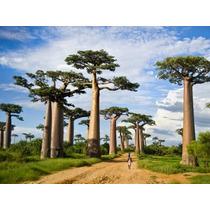 Sementes Bonsai Baoba Adansonia Digitada Baobab P/ Mudas