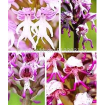 10 Sementes De Orquídeas Adão Orchis Italica, Fada Nua Fairy