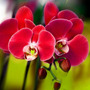 Sementes De Orquídea Borboleta Vermelha - Red Phalaenopsis