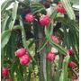20 Sementes De Pitaya Polpa Vermelha Fruta Dragão