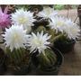 Ornamental Mudas Cactus Echinopsis Calachlora Branca Adultos