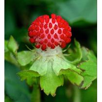 Morango Indiano Mock Strawberry Sementes Frutas P/ Mudas