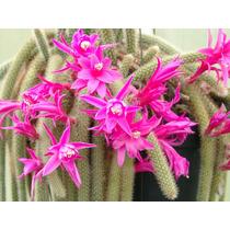 100 Sementes Cactos Aporocactus Pendente - Com Garantia