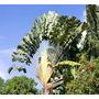 70 Sementes De Arvore Do Viajante Ravenala Madagascariensis
