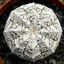 Sementes Cactos Astrophytum Superkabuto Cacto Estrela Japão