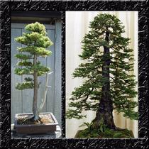Sequoia Gigante - Sementes Para Mudas E Bonsai
