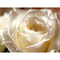 Mix Mudas Rosa Príncipe De Negro E Champanhe