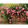 10 Sementes De Rosa Trepadeira Cor Rosa + Frete R$5,00