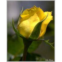 Mix Muda De Rosa Amarela E Rosa Lilás