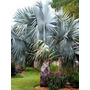 50 Sementes De Palmeira Azul Bismarckia Nobilis Com Garantia