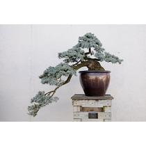 Pinheiro Azul - Abeto Picea - Sementes Para Mudas E Bonsai