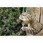 1000 Sementes De Erva Dos Gatos Catnip #tzo4