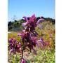 Sálvia Canário - Salvia Canariensis - Sementes Para Mudas