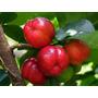 Acerola Gigante Sementes Frutas Para Mudas