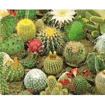 100 Sementes De Cactus Importados E Nacionais Cactos Mix