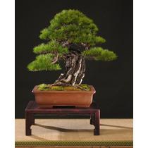 Sementes De Pinheiro Vermelho Japonês - Mudas Bonsai Árvore