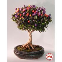 10 Sementes Pimenta Arco-íris Ornamental + Frete Grátis