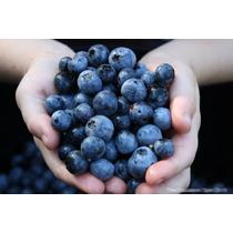 20 Sementes Blueberry Mirtilo Anão Vaso + Frete Grátis