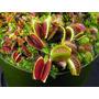 Promoção Duas Plantas Carnívoras Venus Flytrap + Superbrinde