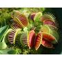 A Mais Famosa Planta Carnívora! Venus Flytrap - Planta Jovem