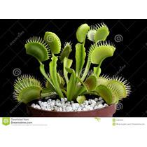 Plantas Carnivoras - Mudas De Plantas Carnivoras
