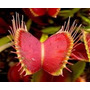 Planta Carnívora Dionéia Muscipula