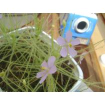 20 Sementes De Planta Carnivora - Byblis Liniflora
