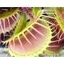 Planta Carnivora Dionaea Muscipula ( Eua ) + Vaso