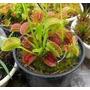 Promoção; Planta Carnívora Dionéia Muscipula