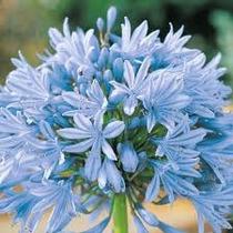 Bulbos De Agapantus Azul Agapantos Mudas Lírio