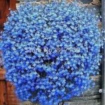 100 Sementes De Lobélia Azul P/ Mudas #01tx